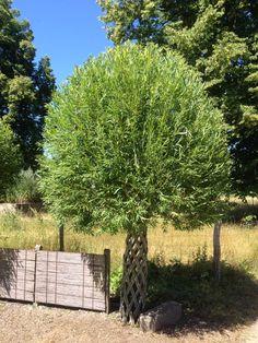 Piletræ. Belgisk flet