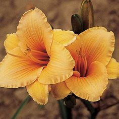 Bells Of Gold Daylily | Roots & Rhizomes