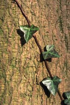 How to trim and prune English Ivy that grows on my brick walls. How to keep them from taking over the house.