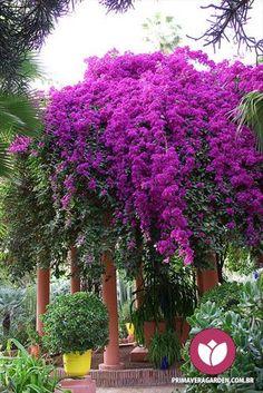 O Bouganville - conhecido popularmente como Primavera ou 3 Marias - é a planta símbolo do Primavera Garden. Enfeitando vasos, janelas, gazebos, na forma de bonsai ou plantado no jardim, em cores intensas que variam do branco ao rosa, é a alegria de qualquer jardim. Amamos! #bouganville #jardim #primavera #jardinagem #paisagismo #flores