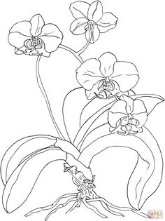 Phalaenopsis or Moth Orchid | Super Coloring