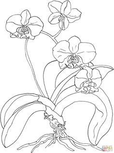 Phalaenopsis ou Orquídea Mariposa | Super Coloring