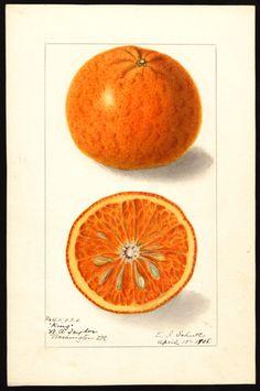 Artist:     Schutt, Ellen Isham, 1873-1955  Scientific name:     Citrus nobilis  Common name:     tangors  Variety:     King  Geographic origin:     Washington, D.C., United States  Physical description:     1 art original : col. ; 17 x 25 cm.  Specimen:     40824  Year:     1908  Date created:     1908