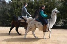 llamas as mounts + fiber, pack, dairy, meat, hauling, livestock guard etc.