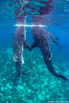 4 whalesharks hand in hand