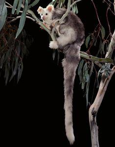 A billion animals: some of the species most at risk from Australia's bushfire crisis Amphibians, Mammals, Reptiles, Kangaroo Island, Australia Animals, Quokka, Mountain Lion, Domestic Cat, Cockatoo