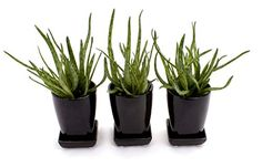 Christmas Aloe Plant Gift Set - Trio in ceramic pots - A Christmas Present to last - Delivery in first week of Christmas or Before - A simple modern decorative plant - A Christmas Present to Last - Ideal size for windowsills and tabletops - Aloe Bakerii