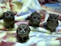 baby owls )