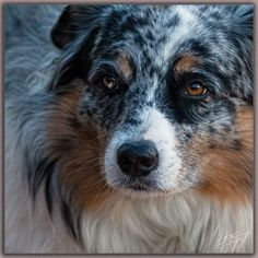 ere is the photo of Abby a very beautiful and feminine creature. Australian Sheep Dogs, Australian Shepherd Puppies, Australian Shepherds, Dingo Dog, Sweet Soul, Photography Workshops, Aerial Photography, Photo Sessions, Dog Breeds