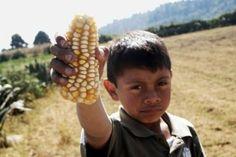 Patentes del maíz mexicano, apropiación de la biodiversidad