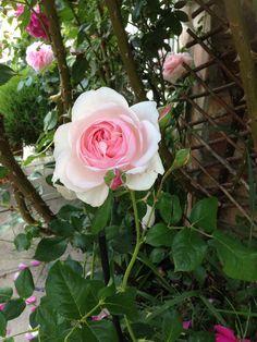 Rose, Garden, Flowers, Plants, Pink, Garten, Lawn And Garden, Gardens, Plant