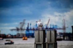Elbmöwen im Hamburger Hafen