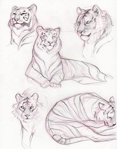 trying to figure out how tigers work… Big Cats Art, Furry Art, Cat Art, Animal Sketches, Art Drawings Sketches, Animal Drawings, Tiger Sketch, Tiger Drawing, Cat Anatomy