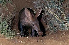 Oricteropo, Aardvark, Porco-da-terra ou Porco-formigueiro (Orycteropus afer): É um mamífero africano, o único representante vivo da ordem Tubulidentata. Este animal distribui-se por todas as as planícies e savanas do sul da África.