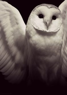My favorite owl is either the snowy owl or the barn owl.