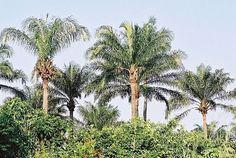 """""""El aceite de Palma es uno de los ingredientes más polémicos que se puede encontrar en los alimentos, puesto que no resulta saludable ni para los humanos por su contenido en grasas perniciosas, ni para el Medio Ambiente, a causa de la deforestación d"""