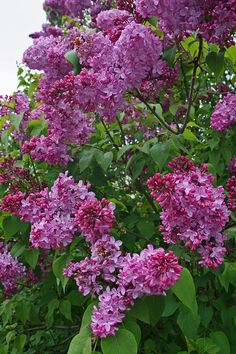 lilac garden | Lilacs At Hulda Klager Lilac Garden Photograph