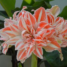 Eine aufsehenerregende Zwiebelblume: Amaryllis Dancing Queen - erhältlich im Onlineshop www.fluwel.de