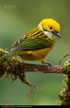 Silver-throated Tanager - Chris Jimenez
