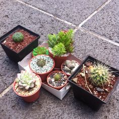 Alguien hoy se convirtió en una compradora compulsiva de cactaceas y suculentas.  #cacti #cacto #cactus #suculenta #sucus #lipthops #mammilarias #eugrophias #craslaceas #echeveria #lapidaria #cactusdorado #cactusdeoro #astrufitumasteria #echeveriaplurifera #cactusendemicos #cactusmexicanos #cactussudafricanos #México #plants #plantas #decoreativeplants #decoration #nature #naturaleza by karensalb