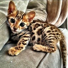 what a cutie/ornery kitten. Looks like a domesticated cat and Ocelot mix.