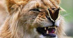 Un lion subjugué par un papillon