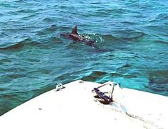 Dolphins frolicking in Belize