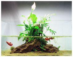 """""""Oasis"""" - Nature Aquarium By DendroAcua.  """" La idea inicial era simple…  """"  Antonio y Marta querían un acuario sencillo de mantener donde cuidar de sus hembras de betta HalfMoon ( no las de la foto) para poder apreciar su comportamiento en grupo.  """" Pero..."""