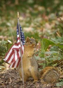 The American Squirrel