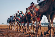 From camel racing to camel milk chocolate, these ships of the desert are an integral part of Dubai life