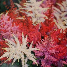 Amazon.com : Best Garden Seeds Astilbe Chinensis Seeds, Beautiful Chinese Astilbe Flowers, Plus Mysterious Gift : Patio, Lawn & Garden