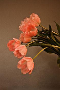 Beautiful peach colored Tulips.