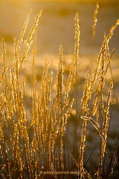 Winterabendsonne, sonnenuntergang, winter, gras, goldenes licht, goldgelb / © 365tagegelb.wordpress.com