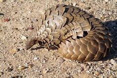 Bilderesultat for pangolin