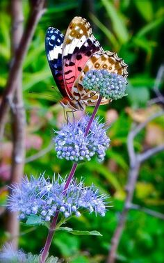 The American Painted Lady or American Lady (Vanessa virginiensis) is found throughout North America. Lives in the flowery habitats, usually the mountains
