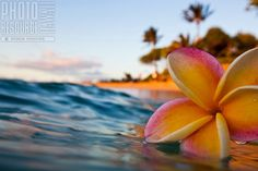 Plumeria floating in the ocean Hawaii Flowers, Plumeria Flowers, Tropical Flowers, Flowers Nature, Beautiful Flowers, Beautiful Pictures, Ocean Flowers, Amazing Photography, Nature Photography