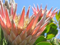 """One of the """"Fynbos"""" plants of South Africa Pretty Pics, Pretty Pictures, King Protea, Fields, Flowers, Plants, Photography, Cute Pics, Photograph"""