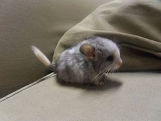 Chinchilla baby