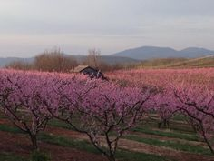 Chiles Peach orchard, Spring 2013