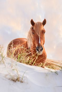 Wild stallion on a high sand dune, Outer Banks, NC coast / Dan Waters Photography / dan@obxphotoworkshops.com