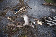 35)  A dead deer lies among driftwood and debris left by a combination of storm surge from Hurricane Sandy and high tide in Southampton, New York, on October 30, 2012. (Reuters/Lucas Jackson)