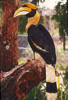 Great Indian Hornbill: Miami Metro Zoo Wings of Asia Aviary - StilLife Fotos