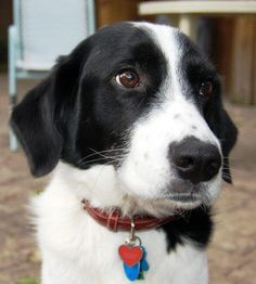 Border Collie mix. ( What my puppy Oliver will look like in the near future?)