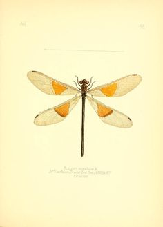 Aid to the identification of insects