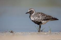 Black-Bellied Plover - Happy Hump Day.  Black Bellied Plover posing on the shore of the Atlantic Ocean.  Copyright Barb D'Arpino