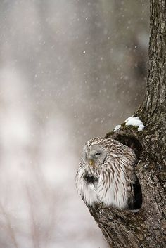 Owl in tree in the snow