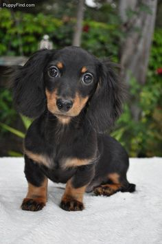black and tan long haired dachshund   Black and tan long hair doxie pup