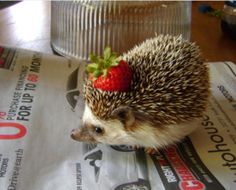 My dad was career military and we lived in Germany twice.  The second time we had two pet hedgehogs - Henry and Henrietta.  They are the sweetest little animals.  Kinda like a warm little pinecone.  This picture brought back those memories.  =)