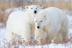 Playmates can be the best training partners. Training is over and poses are made. Photo © copyright by Lance Carter. #photography #fineart #wilderness #polar #bear