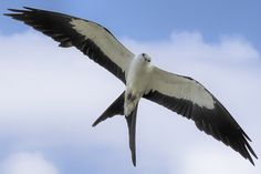 Swallow-tailed Kite (Elanoides forficatus) Distribution:Eastern US to northern Argentina IUCN Status: Least Concern Learn more about this species: Life history Information(via Inaturalist) Songs and calls(via Xeno-Canto) Recent observations(via ebird) (PhotobyLarry Crovo//CC BY-ND 2.0)